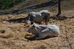 Två kor på gräs Arkivbilder