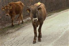 Två kor som går ner vägen Royaltyfria Foton