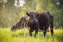 Två kor som graizing i ett fält Fotografering för Bildbyråer