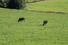Två kor som matar på en äng nära en skog Royaltyfri Bild