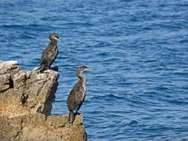Två kormoran sitter på en vagga nära till den kroatiska kustlinjen Arkivfoton