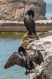 Två kormoran som sätta sig på, vaggar royaltyfria bilder