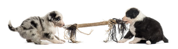 Två korsningvalpar som spelar med ett rep arkivfoton