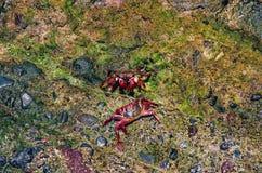 Två krabbor i naturlig miljö Arkivfoto