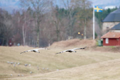 Två kranfåglar (Grusgrus) som in stänger sig för att landa Fotografering för Bildbyråer