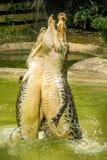 Två krokodiler som tillsammans hoppas ut ur vatten Arkivbilder