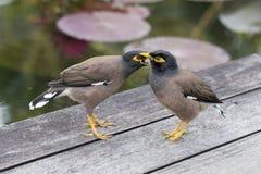 Två kullemynahfåglar, Graculareligiosafågel, den mest intelligenta fågeln i världen Royaltyfri Foto