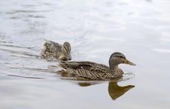 Två kvinnliga änder i vattnet royaltyfri fotografi