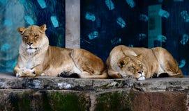 Två kvinnliga afrikanska lejon som vilar på en avsats 1 royaltyfri fotografi
