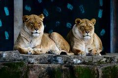 Två kvinnliga afrikanska lejon som vilar på en avsats #2 royaltyfri fotografi