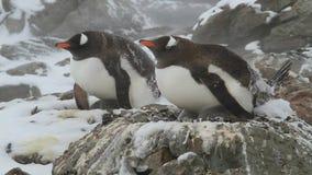 Två kvinnliga Gentoo pingvin som sitter på rede i en snöstorm