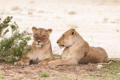 Två kvinnliga lejon Royaltyfria Foton