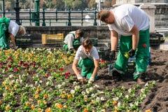 Två kvinnligt och två manliga caucasianträdgårdarbetare som planterar färgrika växter i en blomsterrabatt i den Budapest Ungern Arkivbild