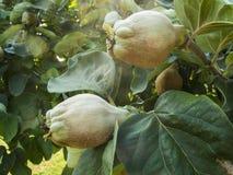 Två kvittenfrukter på trädet Arkivfoto