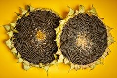 Två läckra solrosor på en gul bakgrund Arkivfoto