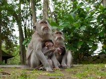 Två långa tailed macaquemödrar med behandla som ett barn Royaltyfria Foton