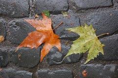 Två lönnlöv på en kullerstengata, Portland, ELLER royaltyfria foton