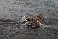 Två lösa änder på floden slåss arkivfoton