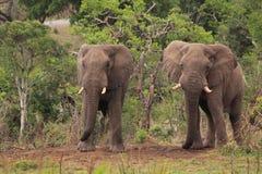 Två lösa afrikanska elefanter Arkivfoto
