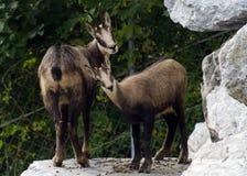 Två lösa bergsfår håller ögonen på nyfiket besökarna av den alpina zoo i Innsbruck royaltyfri bild