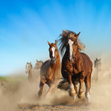 Två lösa kastanjebruna hästar som tillsammans kör Royaltyfri Foto