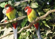 Två lösa parakiter som sitter på en filial Royaltyfria Bilder