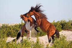 Två lösa ponnyer som slåss på stranden Arkivfoton