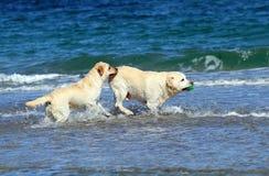 Två labradors på havet Arkivbild