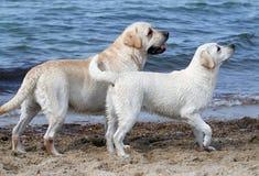 Två labradors vid havet Royaltyfria Bilder
