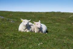 Två lamm Royaltyfria Bilder