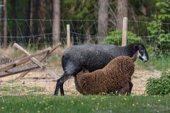 Två lamm som diar på deras moder Royaltyfri Foto