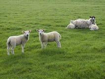 Två lamm som står med en tacka som ligger med två lamm Arkivfoton
