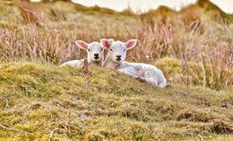 Två lamm som vilar i eftermiddagsolen arkivfoton