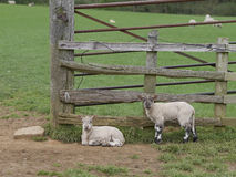 Två lamm som vilar nära en lantgårdport Royaltyfria Foton