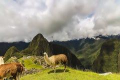 Två lamor på ett platåområde i Machu Picchu arkivbild