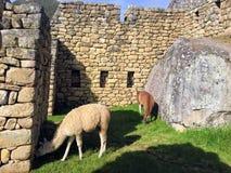 Två lamor som betar på Machu Picchu arkivbild