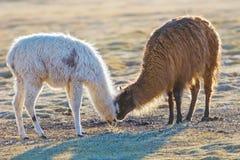 Två lamor som gör smekningar i uyunien, saltar framlänges, Bolivia Arkivfoto