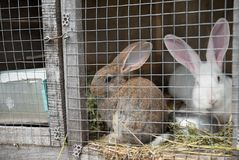 Två ledsna kaniner som ser till och med ramen för metalltråd av buren arkivfoton