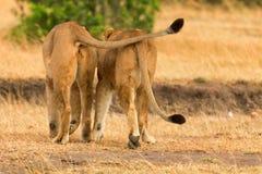 Två lejon i masaien Mara Arkivbild