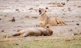 Två lejon ligger, ett av dem ger en gäspning Arkivbilder