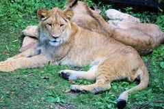 Två lejon som ligger i skuggan Arkivbilder