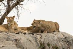 Två lejon som påverkar varandra Royaltyfri Fotografi