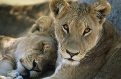 Två lejon som vilar närbild Arkivbild