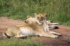 Två lejon som vilar på en väg i masaien Mara Park Arkivbild