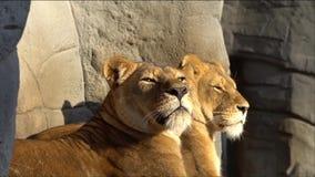 Två lejon tillsammans arkivfilmer