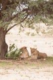 Två lejon under ett träd Royaltyfri Foto