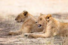 Två lejon vilar i skuggan Royaltyfri Fotografi