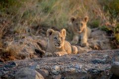 Två lejongröngölingar som lägger i en torr flodbädd Fotografering för Bildbyråer