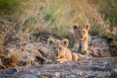 Två lejongröngölingar som lägger i en torr flodbädd Royaltyfri Fotografi
