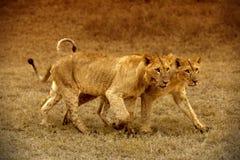 Två lejoninnor i Amboseli Arkivfoton